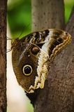 Butterfly Attacus atlas Royalty Free Stock Image