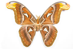 Butterfly Attacus atlas isolated Royalty Free Stock Photos