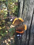 Butterfly autumn Beauty royalty free stock image