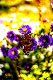 Butterfly on autumn flowers. Peacock butterfly on flowers in autumn Royalty Free Stock Images