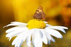 Butterfly on autumn  white chamomiles. Stock Photo