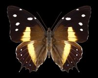 Butterfly Baeotus deucalion stock photo