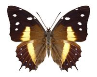 Butterfly Baeotus deucalion stock photography