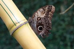Butterfly on bamboo Royalty Free Stock Images