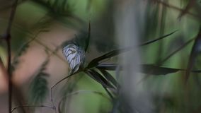 Butterfly on the bamboo shoot with strong wind stock video footage