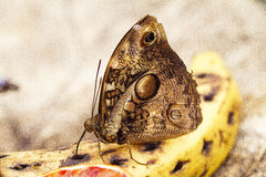 butterfly on a banana Stock Photos
