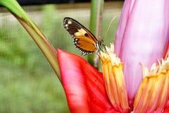 Butterfly on a banana flower. Orange and black butterfly on the flower of a banana tree in a butterfly garden in Mindo, Ecuador stock photos