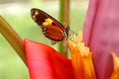 Butterfly on a banana flower. Orange and black butterfly on the flower of a banana tree in a butterfly garden in Mindo, Ecuador royalty free stock photography