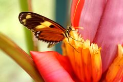 Butterfly on a banana flower. Orange and black butterfly on the flower of a banana tree in a butterfly garden in Mindo, Ecuador stock images