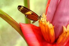 Butterfly on a banana flower. Orange and black butterfly on the flower of a banana tree in a butterfly garden in Mindo, Ecuador stock photography
