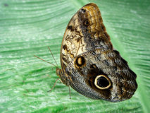 Butterfly on Banana Leaf Stock Photos
