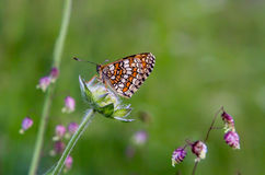 Butterfly bariatrica Galatea Royalty Free Stock Photos