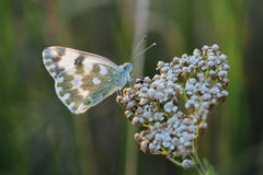 Butterfly - Bath White (Pontia daplidice) on meadow Royalty Free Stock Photography