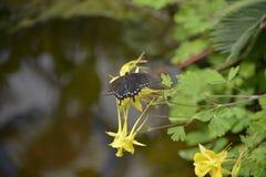 Butterfly battus philenor Stock Image