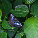 The Butterfly. A beautiful Royalty Free Stock Image