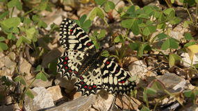 Butterfly. Beautiful butterfly in Almeria. Spain Stock Images