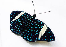 Butterfly. Beautiful black blue and White butterfly Stock Photography