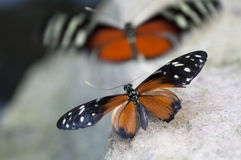 Butterfly. Beautiful black and orange butterfly`s mating on a stone Royalty Free Stock Images
