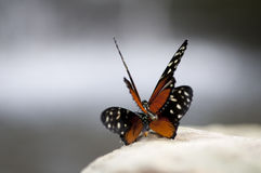 Butterfly. Beautiful black and orange butterfly`s mating on a stone Stock Photo