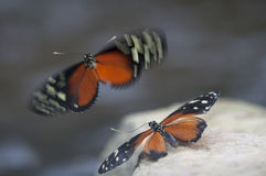 Butterfly. Beautiful black and orange butterfly`s mating on a stone Stock Image