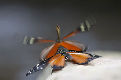 Butterfly. Beautiful black and orange butterfly`s mating on a stone Stock Photos