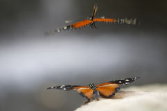 Butterfly. Beautiful black and orange butterfly`s mating on a stone Royalty Free Stock Photography