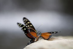 Butterfly. Beautiful black and orange butterfly`s mating on a stone Royalty Free Stock Photos