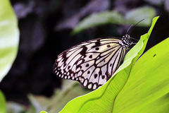 Butterfly. Beautiful black White Butterfly on  a leaf Stock Photos