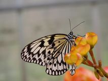 Butterfly sitting on orange flower. Butterfly with beautiful black and white pattern sitting on a orange and yellow colored flower royalty free stock photography