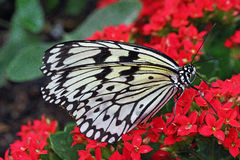 Butterfly. Beautiful black White Butterfly on red flower Stock Images