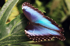 Butterfly. Beautiful blue Butterfly on leaf Royalty Free Stock Photos