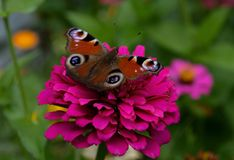 A butterfly with a beautiful bright color is sitting on a pink flower against a colored background of a garden royalty free stock photography