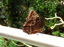 Butterfly. Beautiful brown butterfly with eyes Stock Photography