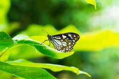Butterfly. Beautiful brown and white butterfly on leaves with blur background Stock Photos