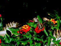 The Butterfly Royalty Free Stock Photos