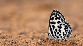 Butterfly Beautiful, Common Pierrot, Castalius rosimon Stock Photography