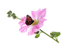 Butterfly on beautiful decorating hollyhock flowers Royalty Free Stock Photo