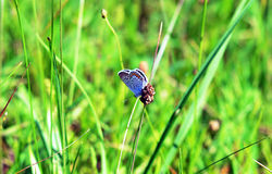 Butterfly. Beautiful butterfly explores the grass Royalty Free Stock Image