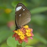 Butterfly. A beautiful butterfly feeding on flowers Stock Photo