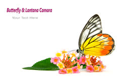 Butterfly & Beautiful flowe Stock Image