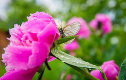 Butterfly on a beautiful flower after rain in summer Royalty Free Stock Images
