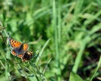 Small copper butterfly. Beautiful small copper butterfly in the grass Stock Photography