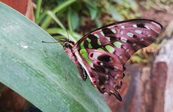 Butterfly. Beautiful green and pink coloured butterfly Stock Photography