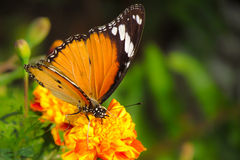 Butterfly, beautiful nature Royalty Free Stock Image