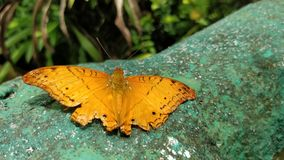 Butterfly. A beautiful orange butterfly on the wall with blur background stock image