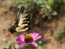 Butterfly. Beautiful butterfly on a pink bloom Stock Image