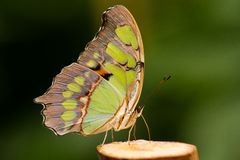 Butterfly. A beautiful butterfly presents itself from its best side Royalty Free Stock Photography