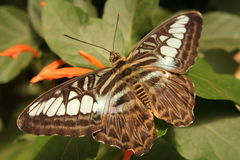 Butterfly. Beautiful butterfly resting on a plant Stock Images