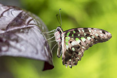 Butterfly. A beautiful butterfly, shot in Montral's Botanical garden, Quebec, Canada Royalty Free Stock Photography