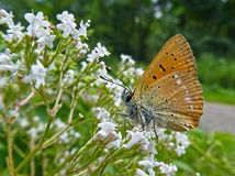 Butterfly. Beautiful butterfly sitting on flowers Royalty Free Stock Photo